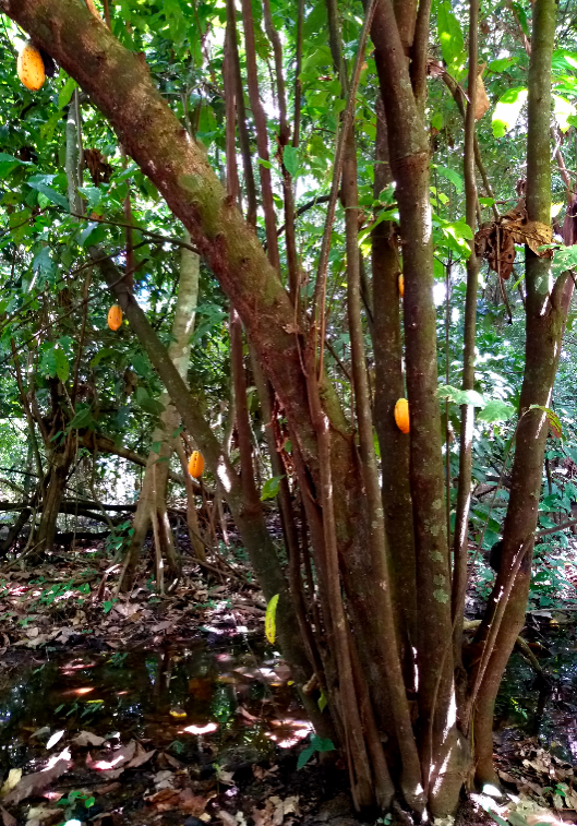 beni tree cacao